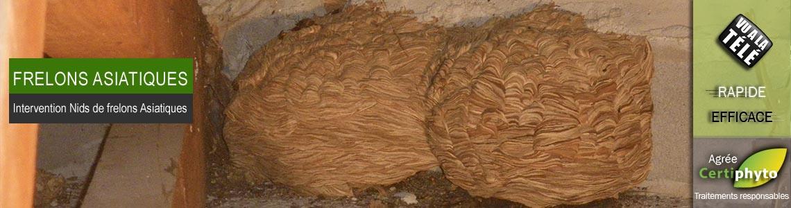 Intervention nids de frelons asiatiques, intervention frelons asiatiques Paca