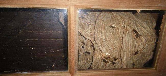 Détruire nid de frelons