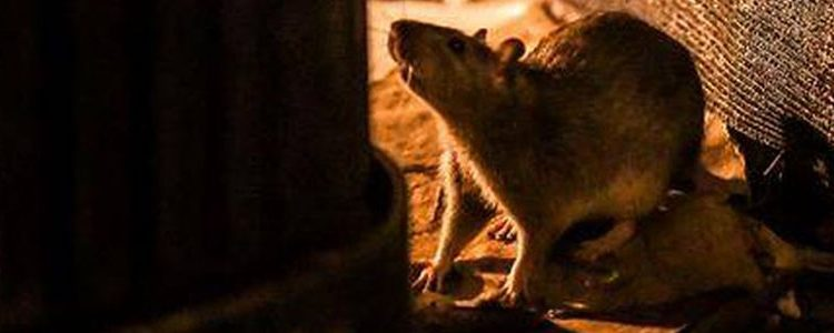 Dératisation, intervention rats, souris,