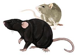 Rats, souris, dératisation, désourisation, Var
